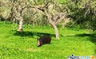 http://www.seguonews.it/cinghiale-a-passeggio-nella-valle-dei-templi-video-girato-dallassociazione-mareamico