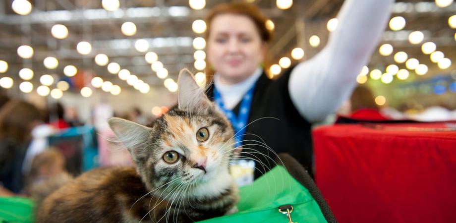 A Caltanissetta l'Esposizione Felina Internazionale: in gara 80 tra i gatti più belli del mondo