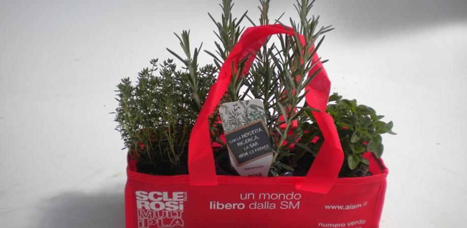 """""""Le erbe aromatiche di Aism"""", fine settimana dedicato alla raccolta fondi nelle piazze di Caltanissetta, Gela e Mazzarino"""