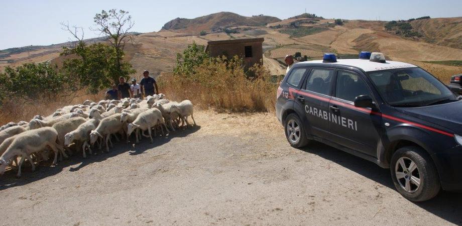 Capi di bestiame di origine sospetta in due aziende agricole, confiscati a Montedoro 350 animali