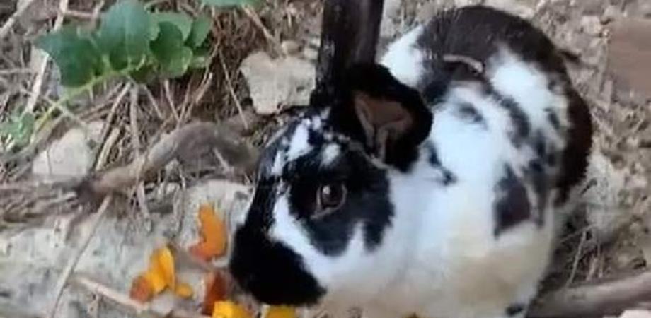 Ischia, il coniglio Roger ucciso a sassate in spiaggia per una scommessa