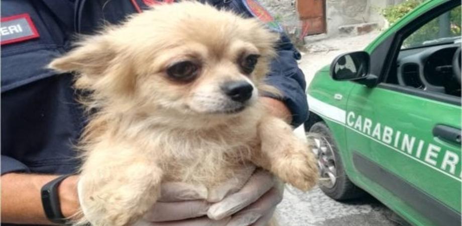 Allevamento lager a Nocera Inferiore: 17 chihuahua salvati dai carabinieri