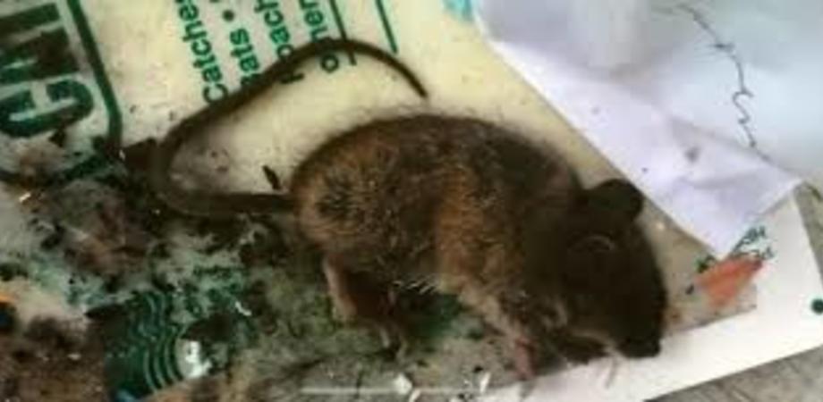 Topi nella mensa della polizia penitenziaria del carcere di San Cataldo, chiesta la chiusura