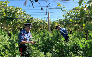Scoperta a Riesi una maxi piantagione di marijuana: al posto di un vigneto c'erano 3.600 piante di canapa indiana