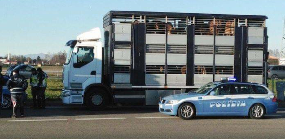 Caltanissetta. Trasportava bovini in maniera irregolare sull'autostrada A19: elevate sanzioni per 7500