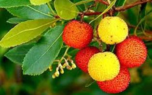 https://www.seguonews.it/festa-nazionale-degli-alberi-al-lungomare-di-gela-verranno-piantati-dei-cespugli-di-corbezzolo-