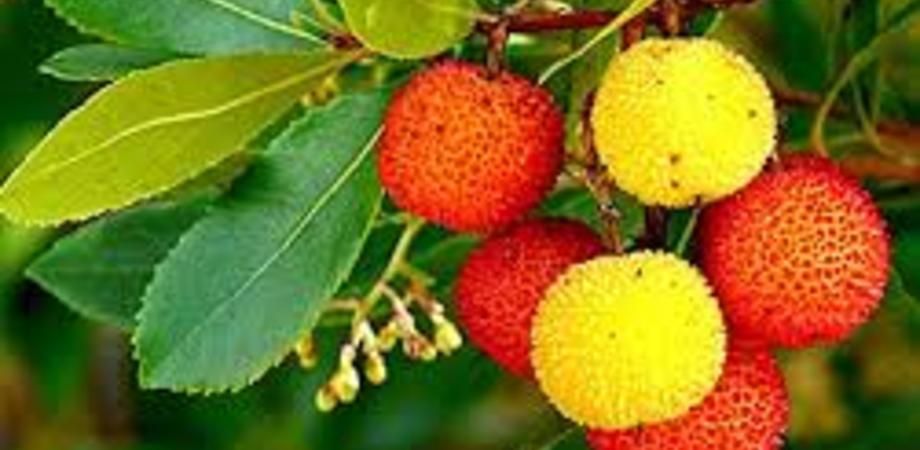 Festa nazionale degli alberi, al lungomare di Gela verranno piantati dei cespugli di Corbezzolo
