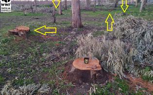 https://www.seguonews.it/la-denuncia-del-wwf-a-delia-strage-di-alberi-nel-boschetto-mele-abbattuti-decine-di-eucalipti