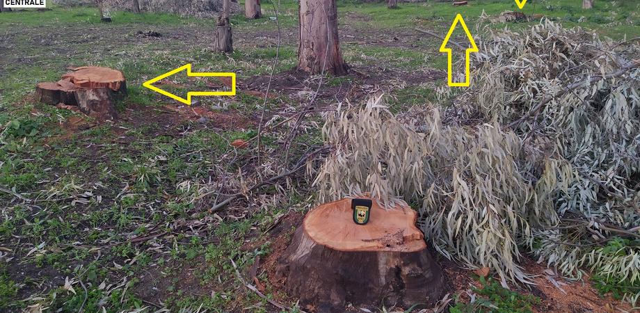 """La denuncia del Wwf: """"A Delia strage di alberi nel boschetto 'Mele'. Abbattute decine di eucalipti"""""""