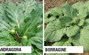https://www.seguonews.it/mandragora-scambiata-per-borragine-famiglia-intossicata-5-ricoverati-i-sintomi