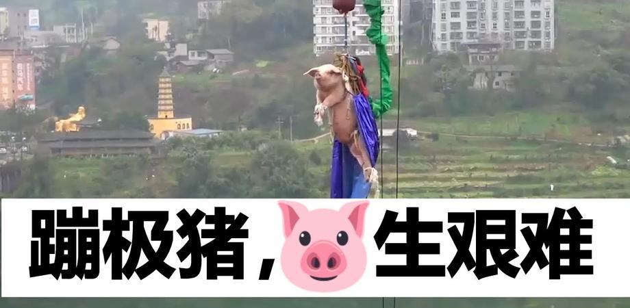 Video choc. In Cina maiale lanciato con il bungee jumping per inaugurare parco: il povero animale urla tutto il tempo