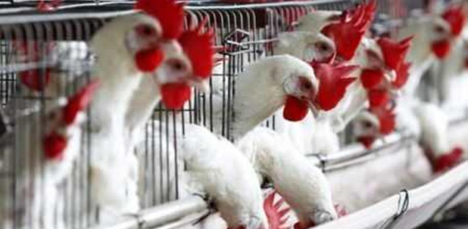 Influenza aviaria, Italia a rischio: il virus proviene dagli allevamenti di galline e tacchini