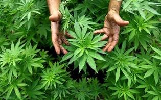 Niscemi, sorpresi a coltivare marijuana in un fondo agricolo: due arrestati dalla polizia