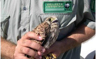 Caltanissetta, carabiniere salva un gheppio ferito ad un'ala: sarà curato in un centro recupero fauna