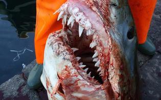 Catania, tirano su la rete e al posto del pesce azzurro trovano squalo Mako di quasi 3 metri