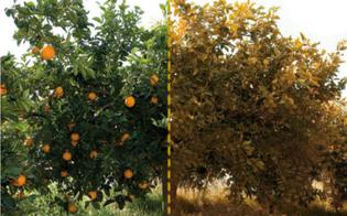 http://www.seguonews.it/agrumicoltura-dieci-milioni-dalla-regione-per-le-aziende-danneggiate-dalla-tristeza