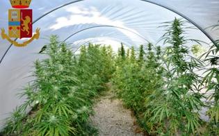 Gela, 381 piante di marijuana coltivate tra gli alberi di albicocco: arrestato un lavoratore forestale