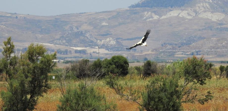 Piana di Gela, torna a volare la giovane Cicogna bianca soccorsa dai volontari della Lipu