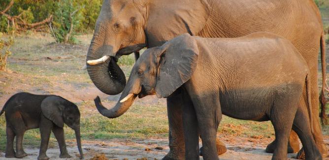 Morti oltre 350 elefanti nel Bostwana: si indaga sulle cause.