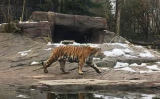 Donna uccisa da una tigre allo zoo di Zurigo: era una dipendente di 55 anni