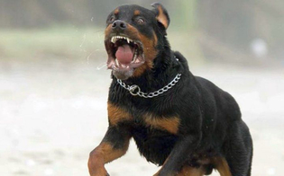 http://www.seguonews.it/gela-bimbo-azzannato-da-due-rottweiler-finisce-in-ospedale