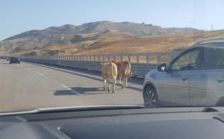 https://www.seguonews.it/caltanissetta-due-vitelli-sullautostrada-panico-tra-gli-automobilisti