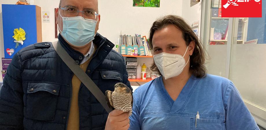 Caltanissetta, salvato dai volontari della Lipu uno Sparviere: era ferito perchè colpito da una fucilata
