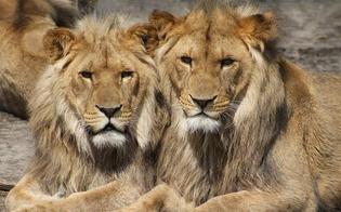 https://www.seguonews.it/coronavirus-quattro-leoni-positivi-allo-zoo-di-barcellona-in-spagna-hanno-sintomi-lievi