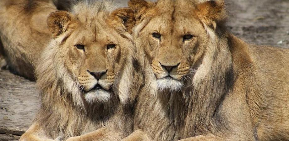 Coronavirus, quattro leoni positivi allo zoo di Barcellona in Spagna: hanno sintomi lievi