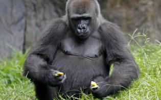 https://www.seguonews.it/nello-zoo-di-praga-gorilla-e-due-leoni-positivi-al-covid-19-si-sospetta-che-siano-stati-infettati-da-un-addetto-della-struttura
