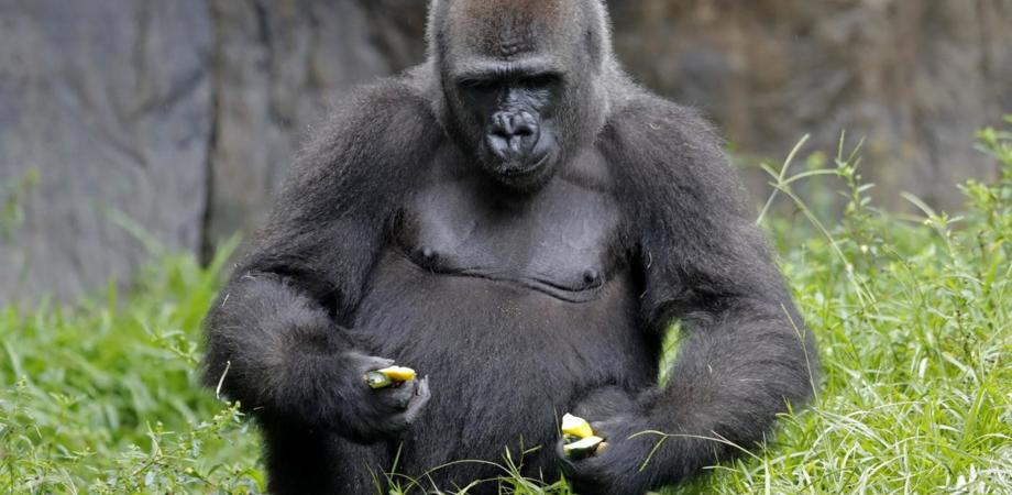 Nello zoo di Praga gorilla e due leoni positivi al Covid-19: si sospetta che siano stati infettati da un addetto della struttura