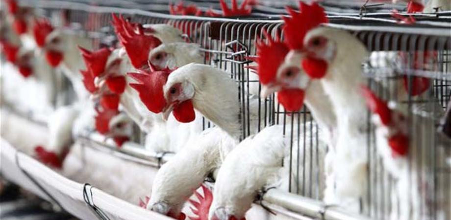 Influenza aviaria in Russia, ecco il motivo per cui l'Italia non ha nulla da temere