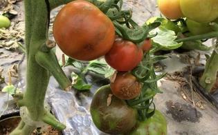 https://www.seguonews.it/agricoltura-in-sicilia-e-allarme-per-il-virus-tobrfv-intacca-pomodori-e-peperoni
