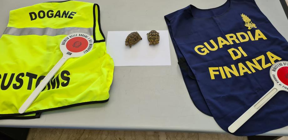 Sequestrate tartarughe trasportate illegalmente da Tunisi a Palermo