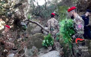 Scoperta una piantagione di marijuana nell'Ennese: due persone arrestate