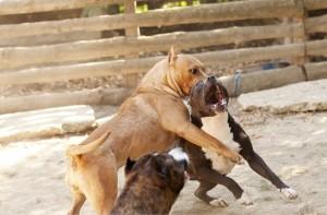 Combattimenti clandestini tra cani, piaga diffusa a Caltanissetta