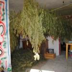 Marijuana essiccata